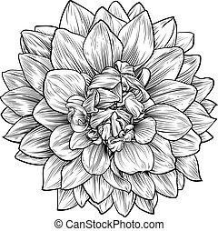 fleur, graver, woodcut, chrysanthème, dahlia, ou