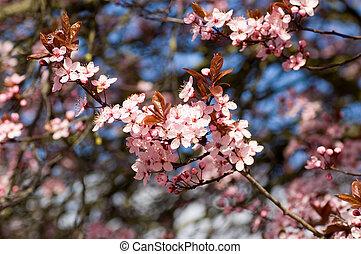 fleur, groupes, cerise