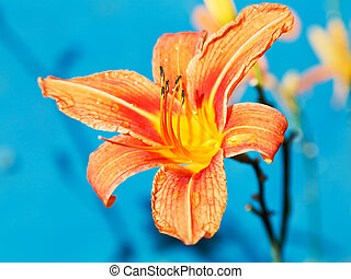 fleur, haut, dehors, orange, fin, lis