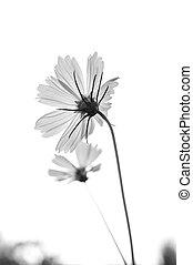fleur, haut, isolé, noir, fin, blanc