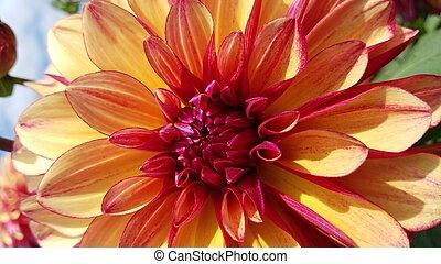fleur, haut, jaune, pétales, fin, dahlia, rouges