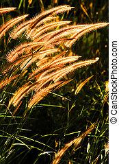 fleur, herbe, doré, lumière