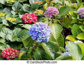 fleur, hortensia, fleur