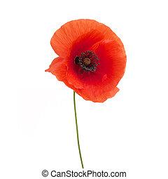 fleur, isolé, clair, pavot, blanc rouge