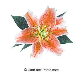 fleur, isolé, fond, orange, lis blanc