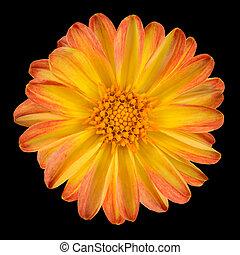 fleur, isolé, jaune, pétales, orange, dahlia