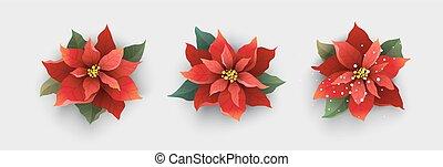 fleur, isolé, poinsettia, noël blanc, rouges