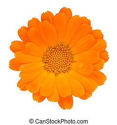fleur, isolé, (pot, fond, calendula, marigold), blanc