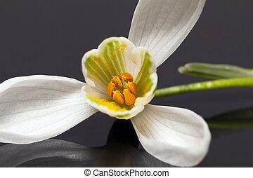 fleur, isolé, sombre, unique, fond, perce-neige