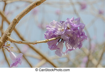 fleur, jacaranda, arbre, lilas