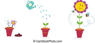 fleur jardin, croissance, étapes, -, tournesol
