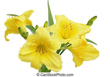 fleur, jaune, daylilies