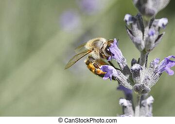 fleur, lavande, abeille, africaine, (killer), récolte