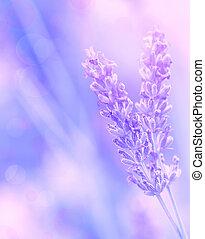 fleur, lavande