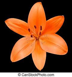 fleur, lis, isolé, arrière-plan noir, orange, ouvert
