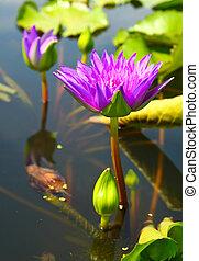 fleur, lotus, fleurs, étang