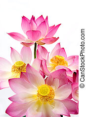 fleur, lotus, isoler, arrière-plan., fleurir, blanc