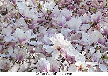 fleur, magnolia, entiers, arbre, à feuilles caduques