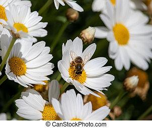 fleur, manger, fonctionnement, printemps, abeille, temps