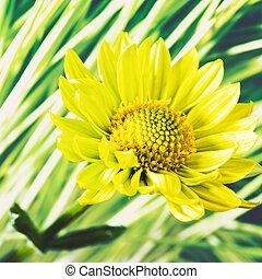 fleur, naturel, résumé, arrière-plans, contre, pâquerette