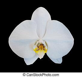 fleur, noir, isolé, fond, orchidée