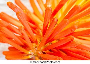fleur orange, arrière-plan rouge
