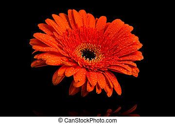 fleur orange, gerbera, rouges