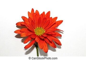 fleur orange, une, isolé, pâquerette