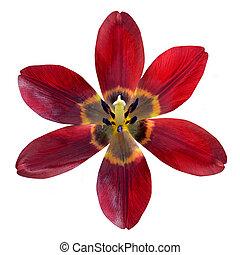 fleur, ouvert, isolé, fond, lis blanc, rouges