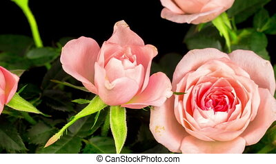fleur, ouverture, défaillance temps, rose, blanc