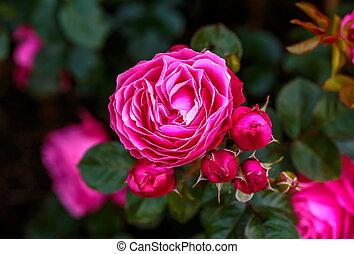 fleur, parfumé, entiers, rose
