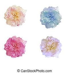 fleur, pivoine, fond, isolé