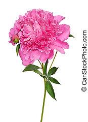 fleur, pivoine