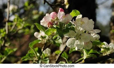 fleur, pomme