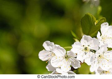 fleur, pomme, fond