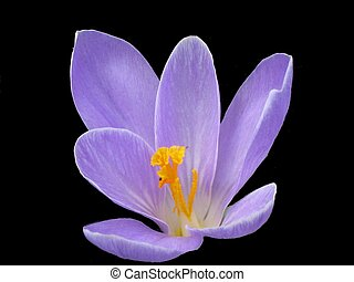 fleur pourpre, arrière-plan noir