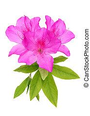 fleur, pourpre, azalée