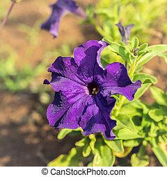 fleur, pourpre, clématite, jardin