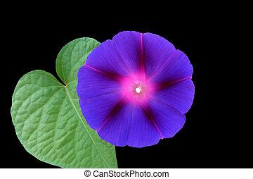 fleur pourpre, feuille