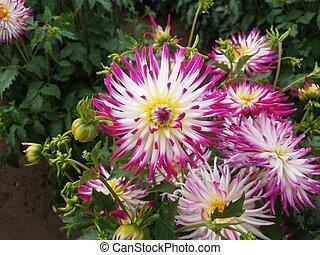 fleur, pourpre, feuilles, pétales, vert, dahlia, blanc