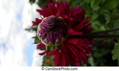 fleur, pourpre, feuilles, pétales, vert, dahlia, rouges