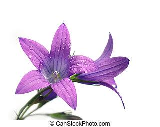 fleur, pourpre
