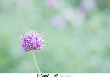 fleur pourpre