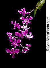 fleur, pourpre, isolé, arrière-plan., noir, orchidée