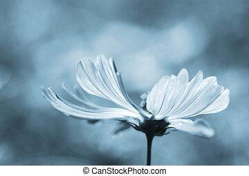 fleur, pourpre, pollinated, profond, abeille, cosmos