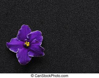 fleur, pourpre, space., arrière-plan noir, copie