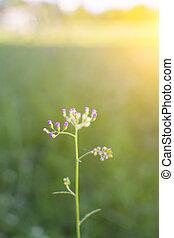 fleur, pré,  nature, Printemps, lumière soleil, fond, herbe