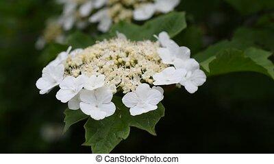 fleur, printemps, arrowwood, viburnum, ou