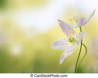 fleur, printemps, couple, -, anémone, tôt, bois, macro