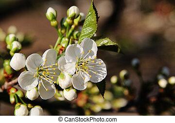fleur, printemps, fond, blanc